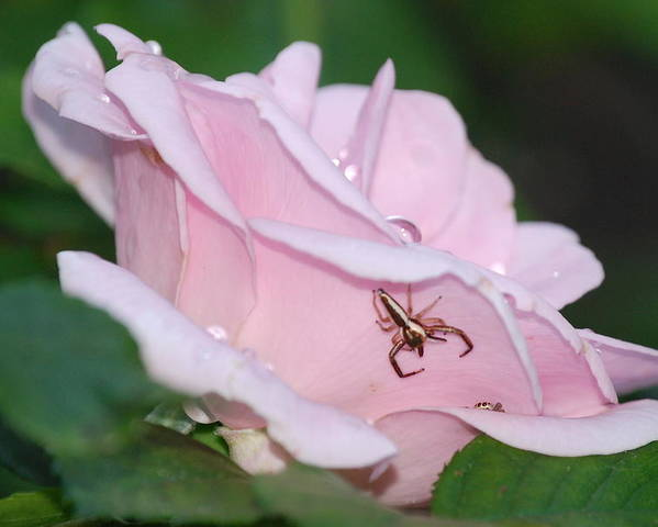 Rose Poster featuring the photograph Two Spiders In A Rose by Kathy Gibbons