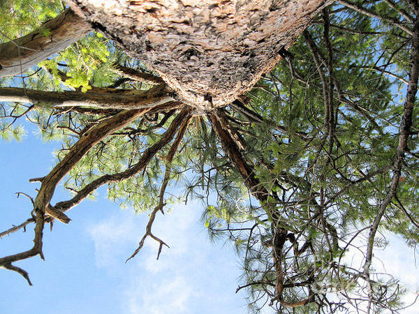 The View A Child Sees When Looking Up A Tree. Poster featuring the photograph Up A Tree by Teresa Carvell