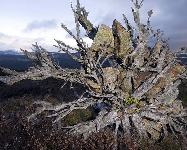 Pinus Sylvestris Poster featuring the photograph Uprooted Scot's Pine Tree by Duncan Shaw