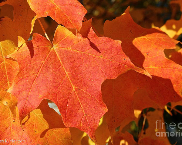 Outdoors Poster featuring the photograph Vibrant Maple by Susan Herber