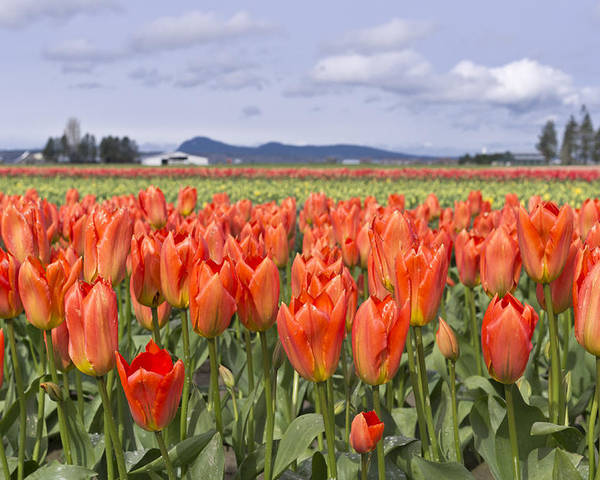 Tulip Poster featuring the photograph Vibrant Orange Spring by Priya Ghose