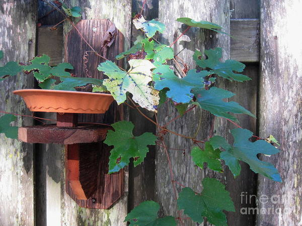 Vine Poster featuring the photograph Vine And Feeder by Jan Prewett