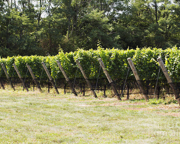 Vineyard Poster featuring the photograph Vineyards by Leslie Leda