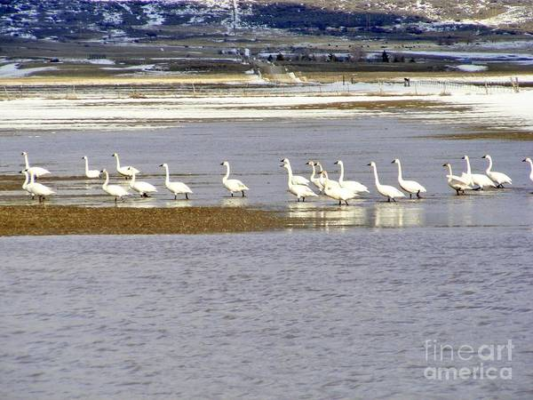 Swans Poster featuring the photograph Wading Swans by Woody Wilson