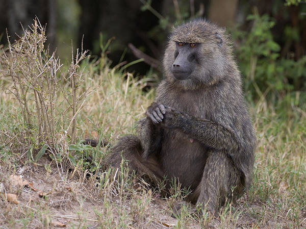 Baboon Poster featuring the photograph Waiting For..... by John Gregg