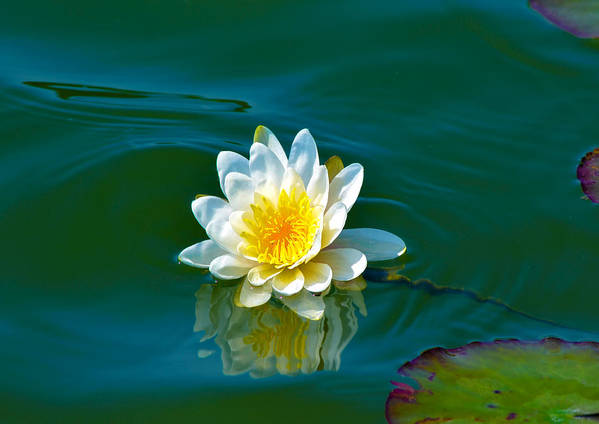 Aquatic Poster featuring the photograph Water Lily 4 by Julie Palencia