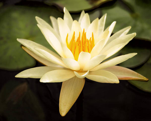 Aquatic Poster featuring the photograph Water Lily by Darren Fisher