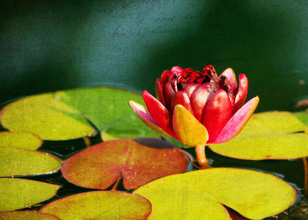 Aquatic Poster featuring the photograph Water Lily II by Darren Fisher