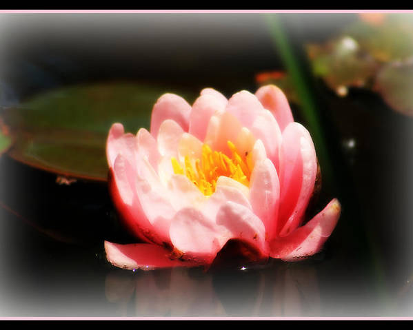 Water Lily Poster featuring the photograph Water Lily by Rebecca Frank