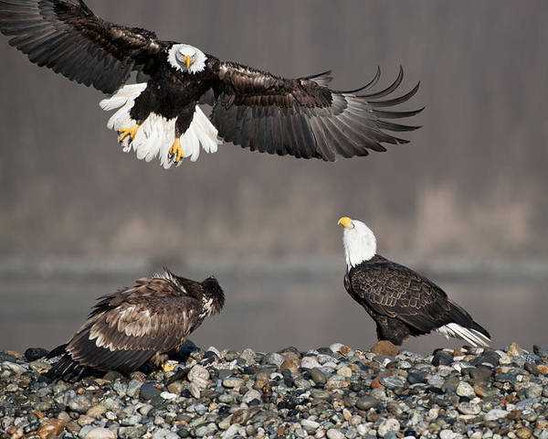 Bald Eagles Poster featuring the photograph Welcome by Yoshiki Nakamura
