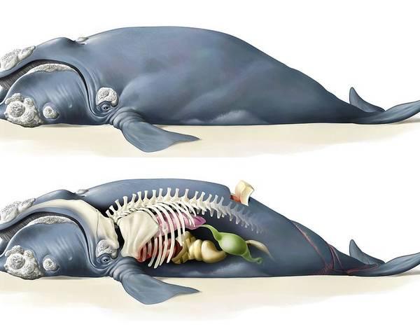 Whale Anatomy Poster By Jose Antonio Peas