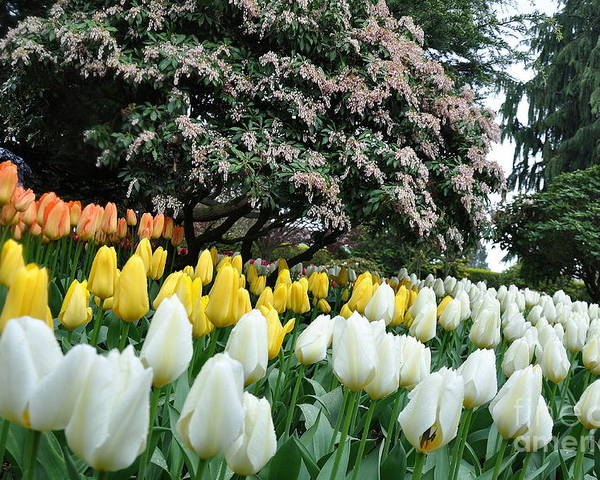 Botanical Poster featuring the photograph White And Yellow Tulips by Tanya Searcy