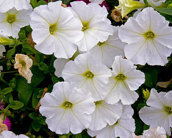 Flowers Poster featuring the photograph White Flowers by David Freuthal
