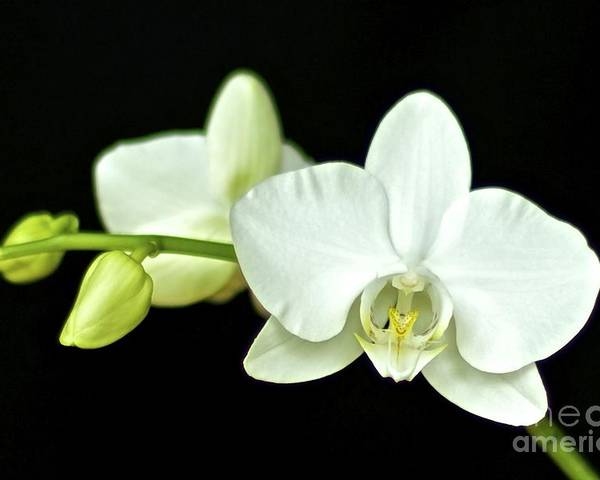 White Orchid Poster featuring the photograph White Orchid by Mihaela Limberea
