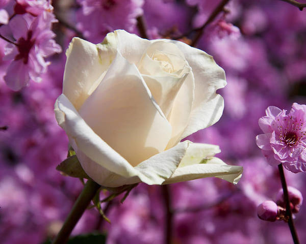 White Rose Poster featuring the photograph White Rose And Plum Blossoms by Garry Gay