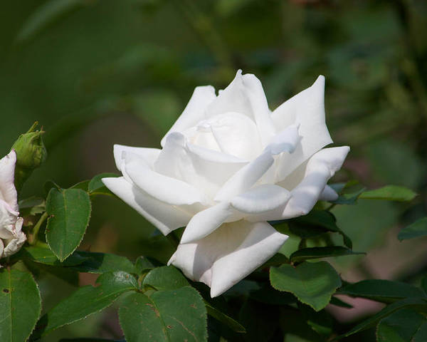 Rose Poster featuring the photograph White Rose by Stephen Tunis
