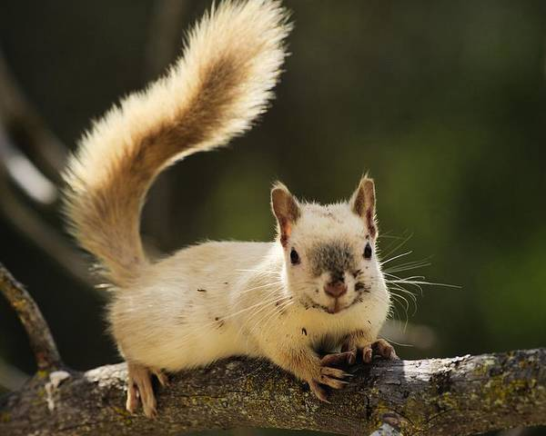 White Squirrel Poster featuring the photograph White Squirrel by John Greaves