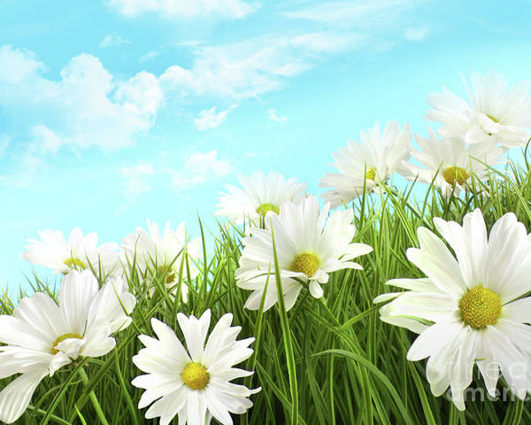 Background Poster featuring the photograph White Summer Daisies In Tall Grass by Sandra Cunningham