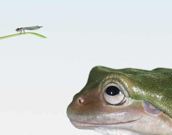 Horizontal Poster featuring the photograph White's Tree Frog (litoria Caerulea), Looking At Fly, Close Up by Daly and Newton