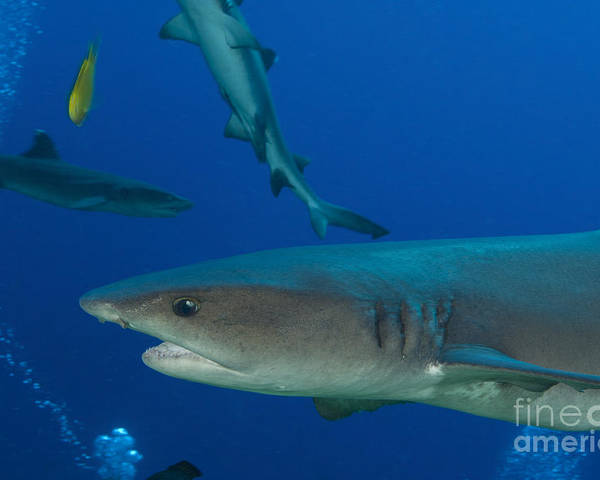 Fish Poster featuring the photograph Whitetip Reef Shark, Papua New Guinea by Steve Jones