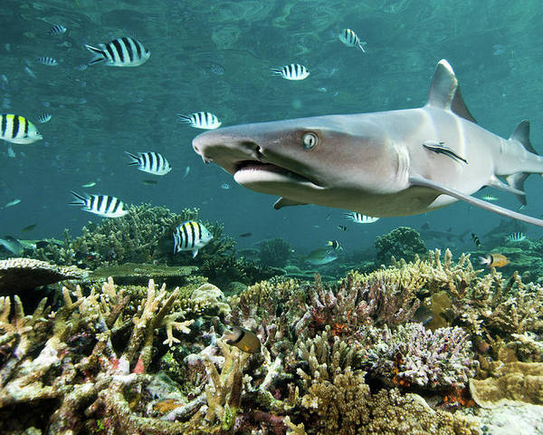 Horizontal Poster featuring the photograph Whitetip Shark Over Coral Reef by Alexander Safonov