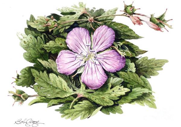 Floral Poster featuring the painting Wild Geranium by Bob George
