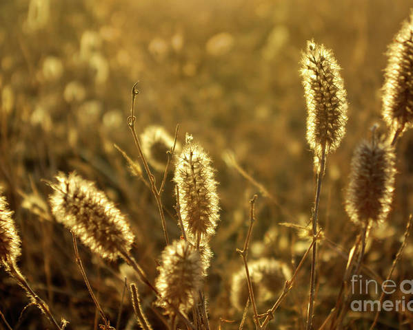 Agricultural Poster featuring the photograph Wild Spikes by Carlos Caetano
