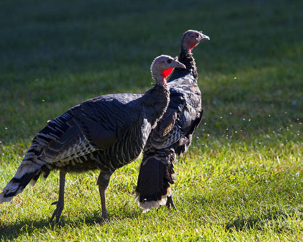 Turkey Poster featuring the photograph Wild Turkeys by Mike Dawson