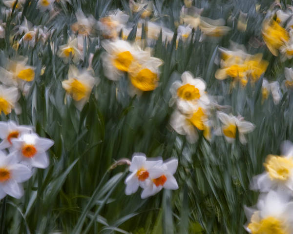 Daffodil Poster featuring the photograph Wind by Ron Smith