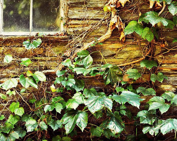 Grapevines Poster featuring the photograph Window And Grapevines by HD Connelly