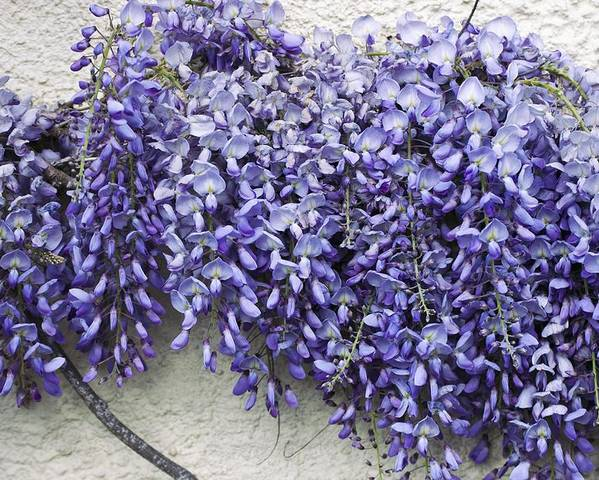 Wisteria Poster featuring the photograph Wisteria Sp by Dr Keith Wheeler