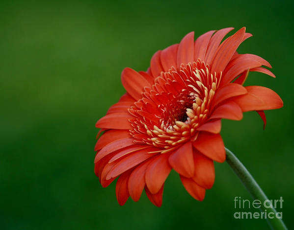 Wonder Of Nature Poster featuring the photograph Wonder Of Nature Gerber Daisy by Inspired Nature Photography Fine Art Photography