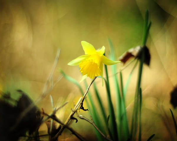 Narcissus Poster featuring the photograph Woodland Narcissus by Rebecca Sherman