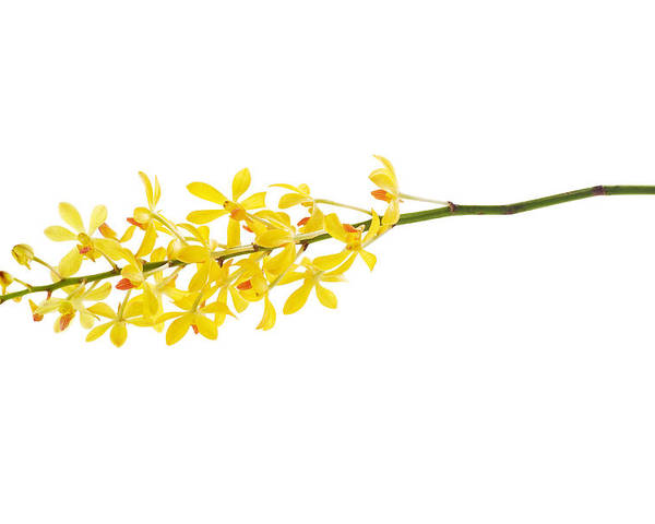 Spa-treatment Poster featuring the photograph Yellow Orchid Bunch by Atiketta Sangasaeng
