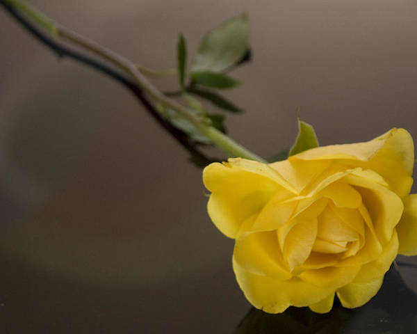 Rose Poster featuring the photograph Yellow Rose Of Friendship by HD Hasselbarth
