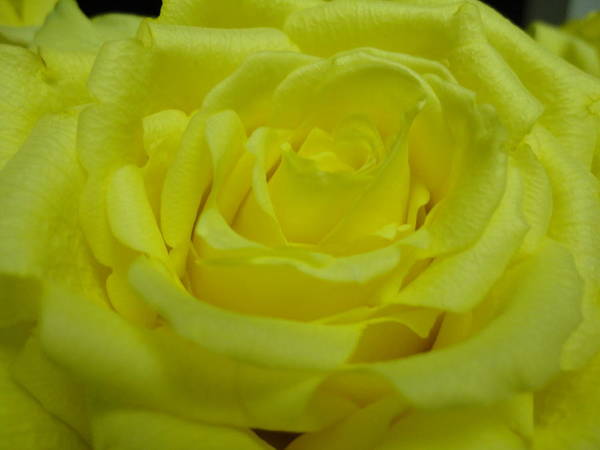 Flower Poster featuring the photograph Yellow Rose Of Texas by Maria Bonnier-Perez