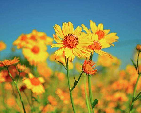 Horizontal Poster featuring the photograph Yellow Wildflowers by Sandy L. Kirkner