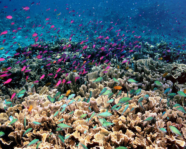 Chromis Viridis Poster featuring the photograph Yellowstriped Anthias And Blue Damselfish by Georgette Douwma