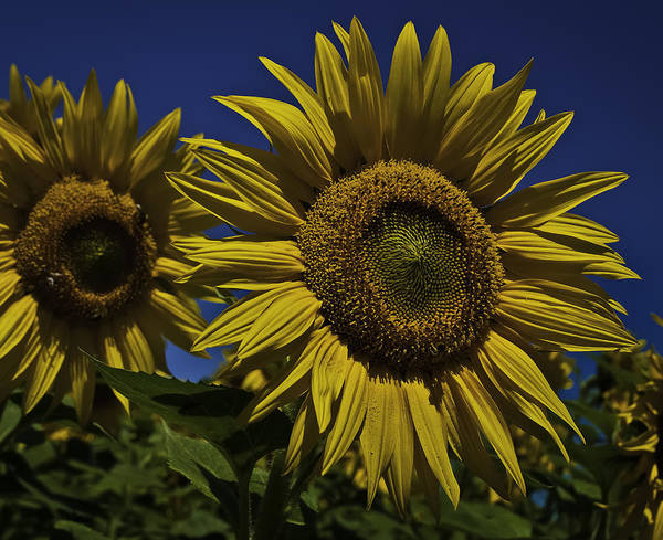 Sunflower Poster featuring the photograph You Are My Sunshine by Nigel Jones