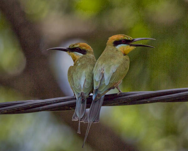 Rainbow Bee-eaters Poster featuring the photograph You Watch My Back And I Watch Yours V2 by Douglas Barnard