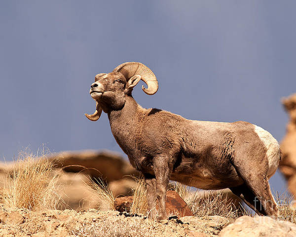 Young Poster featuring the photograph Young Bighorn by Earl Nelson