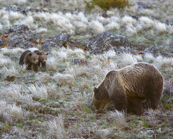 Photography Poster featuring the photograph Young Grizzly Cubs Play As Their Mother by Drew Rush