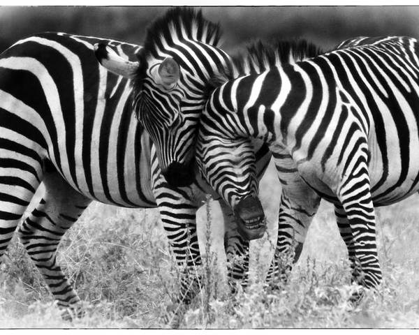 Africa Poster featuring the photograph Zebra Hug 2 by Jack Daulton