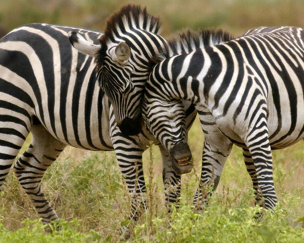 Africa Poster featuring the photograph Zebra Hug by Jack Daulton