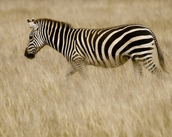 Africa Poster featuring the photograph Zebra In Grasses 2 by Jack Daulton