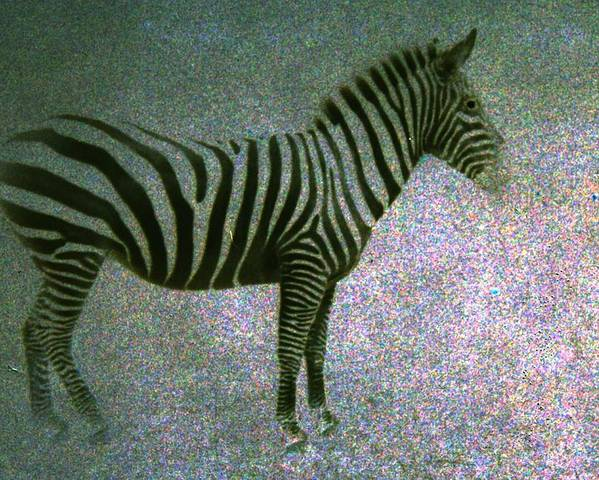 Zebra Poster featuring the photograph Zebra by Kelly Hazel