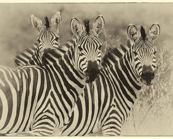 Africa Poster featuring the photograph Zebra Trio by Jack Daulton