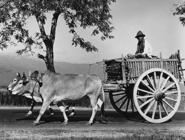Adult Poster featuring the photograph Zebu Cart by Richard Harrington