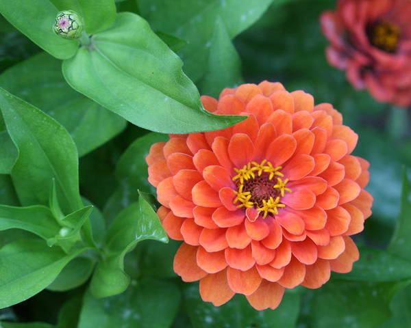 Zinnias Poster featuring the photograph Zinnia Flower Stages Of Life by Bonnie Boden
