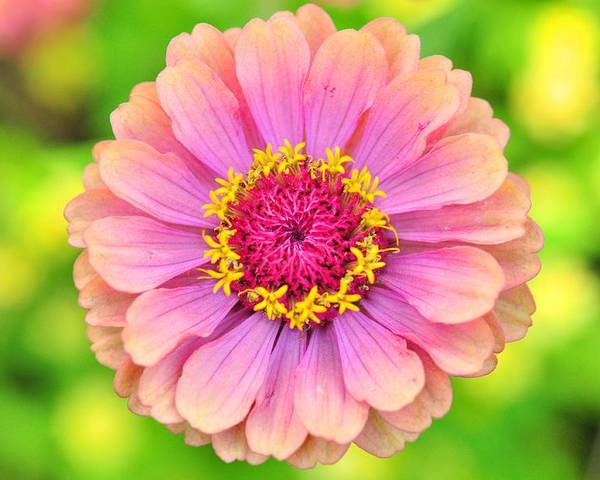 Poster featuring the photograph Zinnia Oklahoma Pink by Puzzles Shum